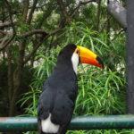 Nino le toucan